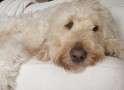 Dexter Goldendoodle